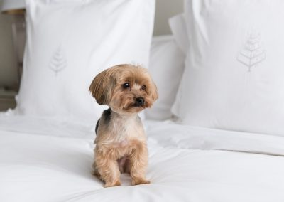 Dog in on bed in a suite at Four Seasons Hotel, Toronto